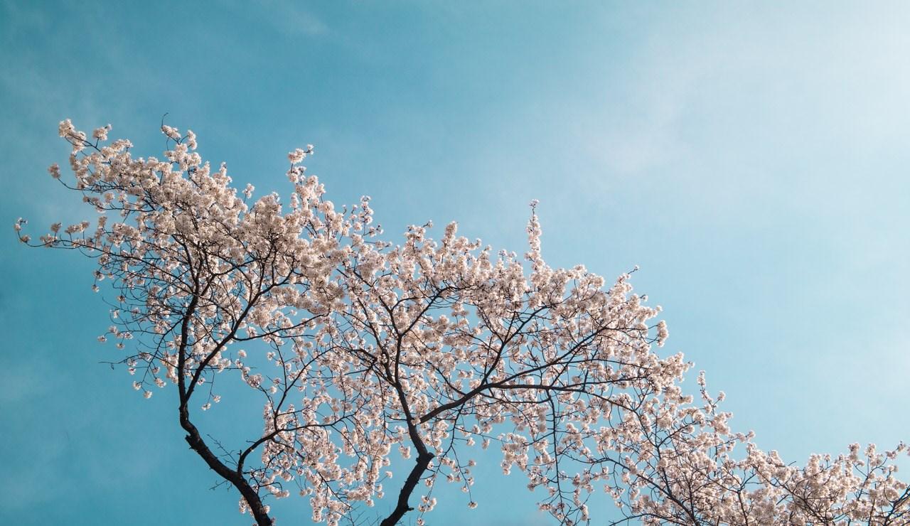 경기도청에서 벗꽃을 만나다 wide-0302.jpg