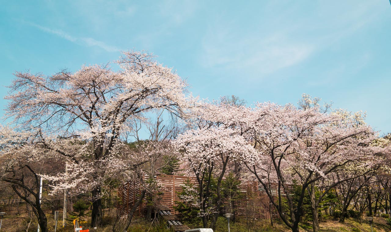 경기도청에서 벗꽃을 만나다-0311.jpg