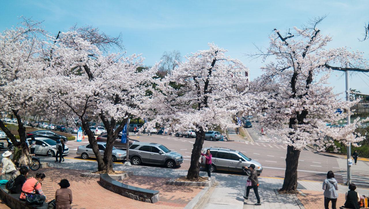 경기도청에서 벗꽃을 만나다-0355.jpg