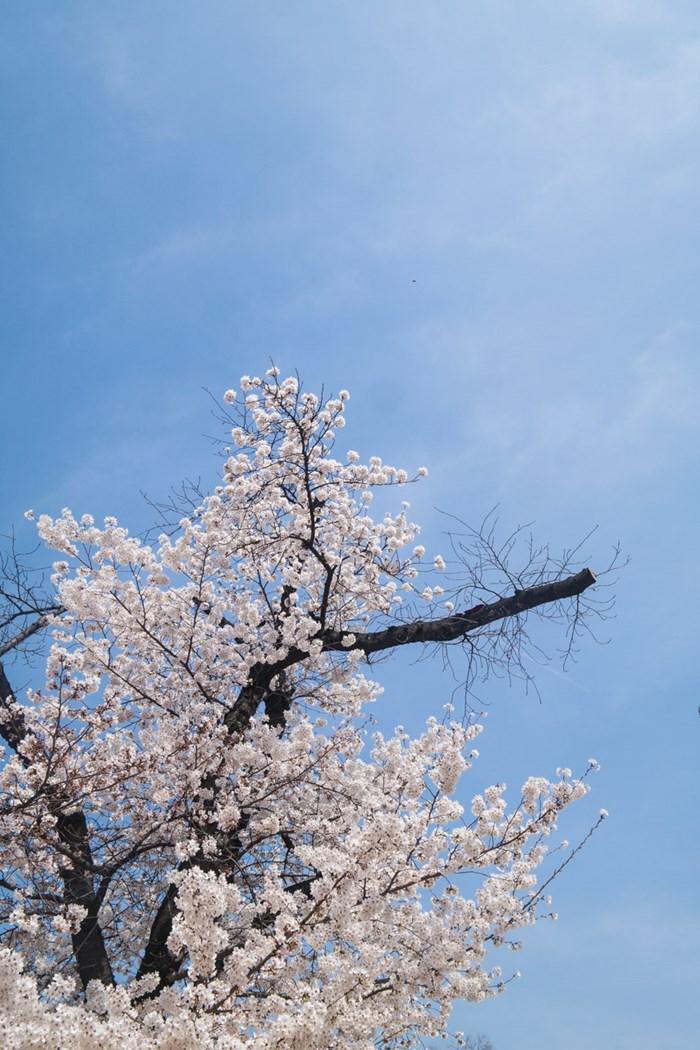 경기도청에서 벗꽃을 만나다-0372.jpg