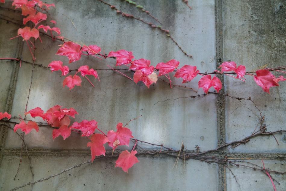 가을 담쟁이-5377.jpg