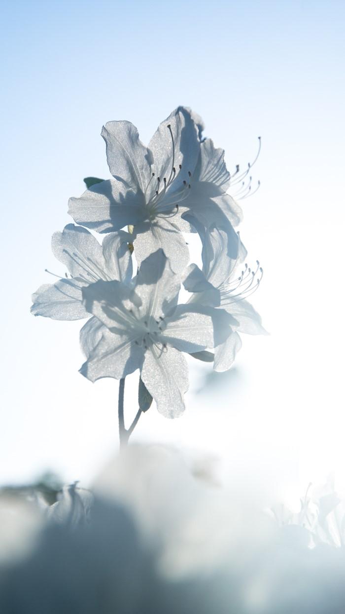 순백의 아름다운 철쭉-1860.jpg