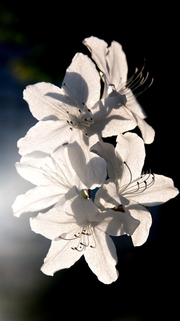 순백의 아름다운 철쭉-1880.jpg