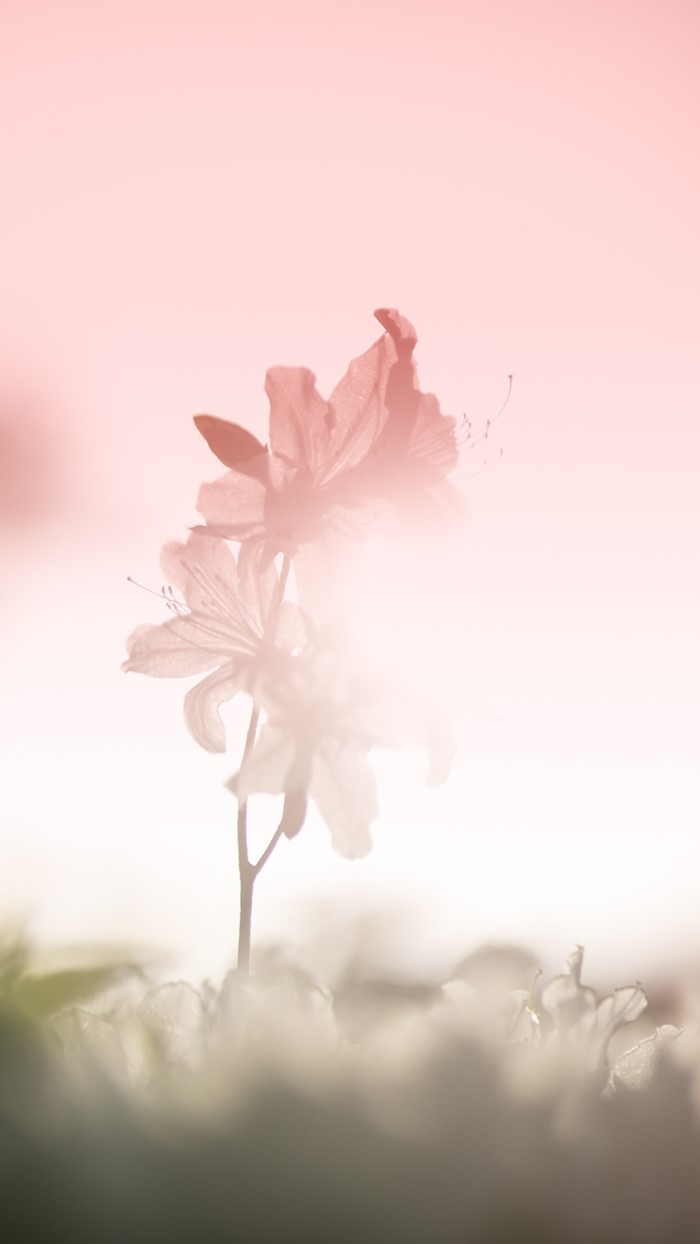 순백의 아름다운 철쭉-.jpg