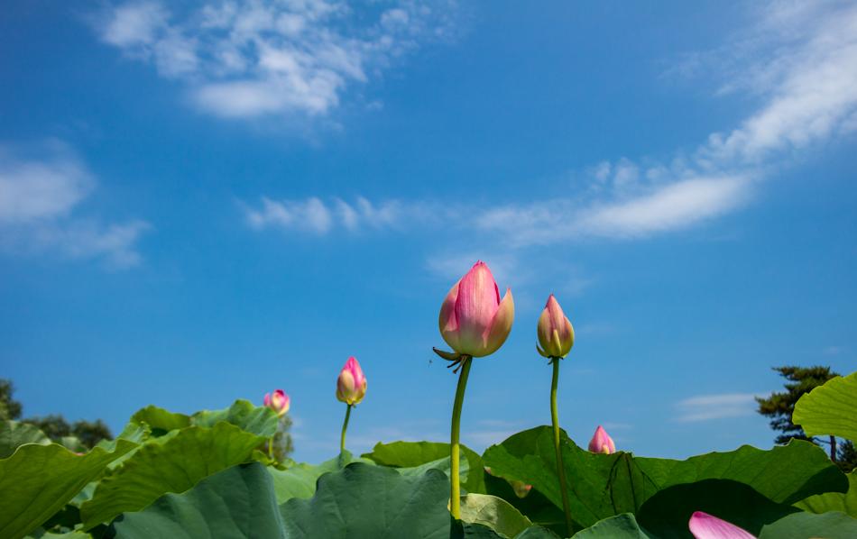 궁남지 연꽃-4462.jpg