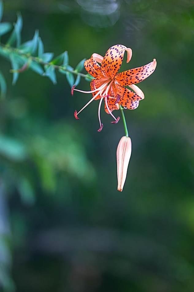 광지원계곡에서 담아본 나리꽃-8722