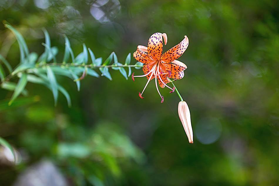 광지원계곡에서 담아본 나리꽃-8726