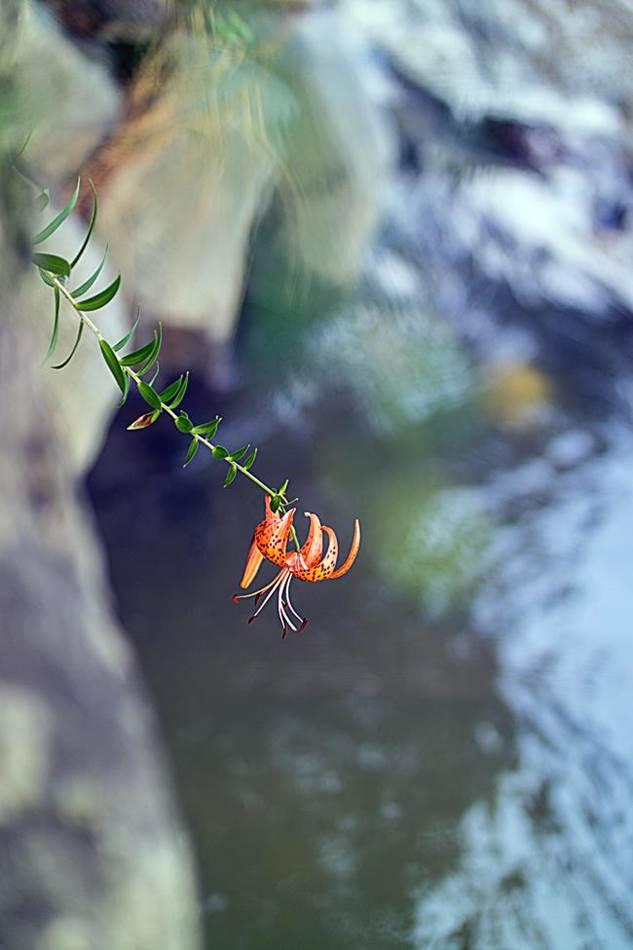 광지원계곡에서 담아본 나리꽃-8737
