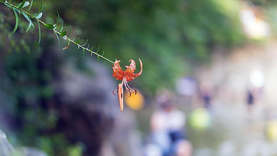광지원계곡에서 담아본 나리꽃-8743