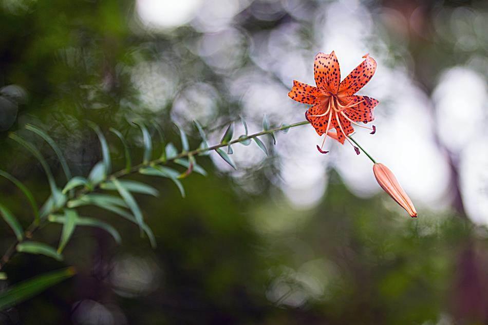 광지원계곡에서 담아본 나리꽃-8769