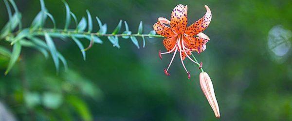 여름꽃의 여왕 나리꽃을 아름답게 담아 보기 - 광지원계곡서 만난 참나리꽃 11