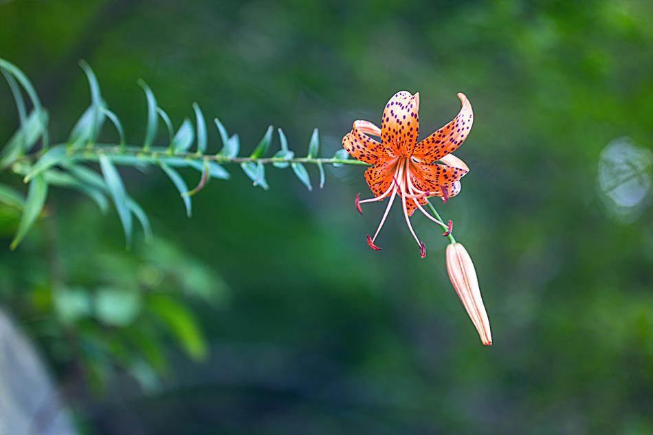 광지원계곡에서 담아본 나리꽃-8776