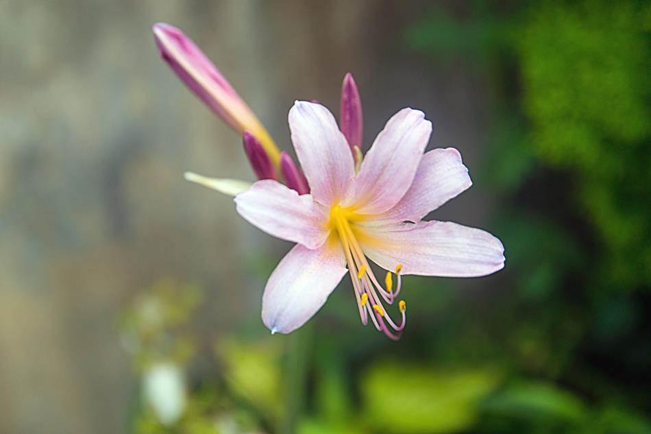 동해 묵호등대에서 담아본 나리꽃-8384