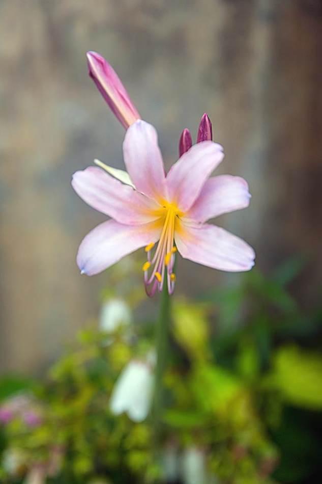 동해 묵호등대에서 담아본 나리꽃-8386