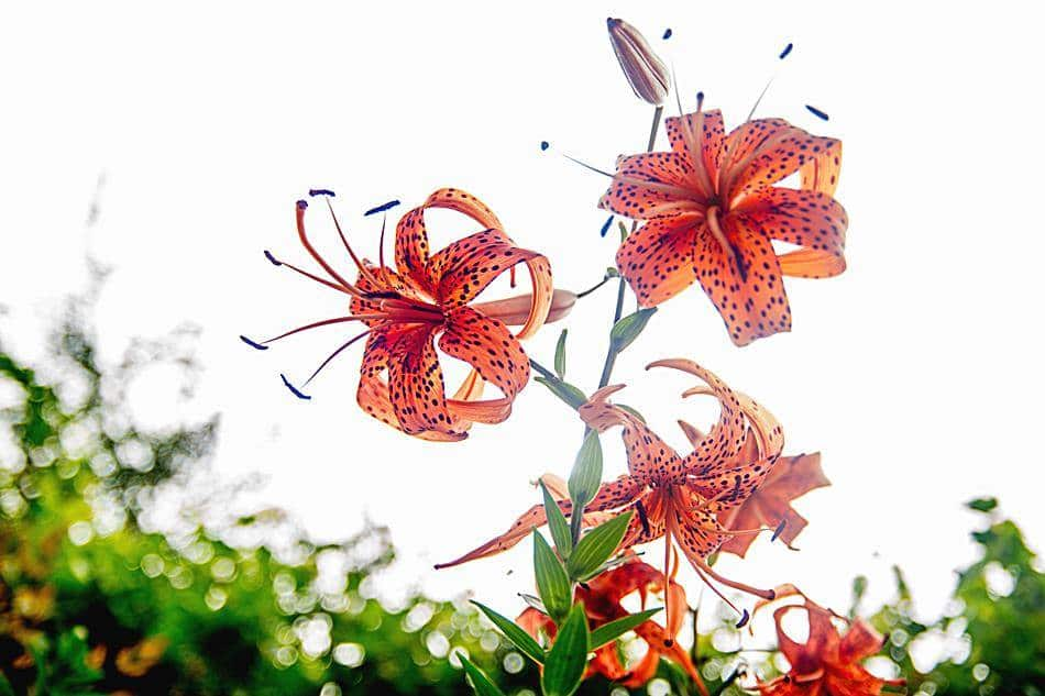 동해 묵호등대에서 담아본 나리꽃-8404