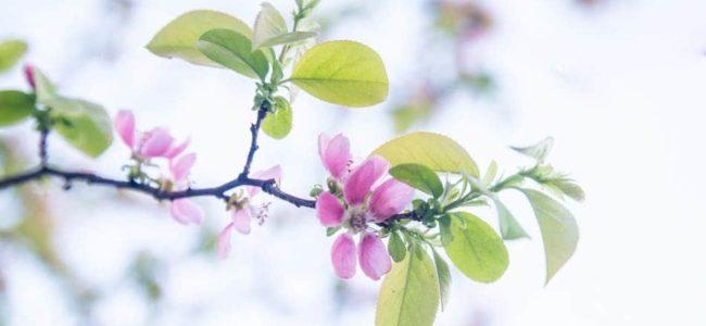 이태주의 풀꽃이 생각나게 하는 모과꽃을 담아 보다