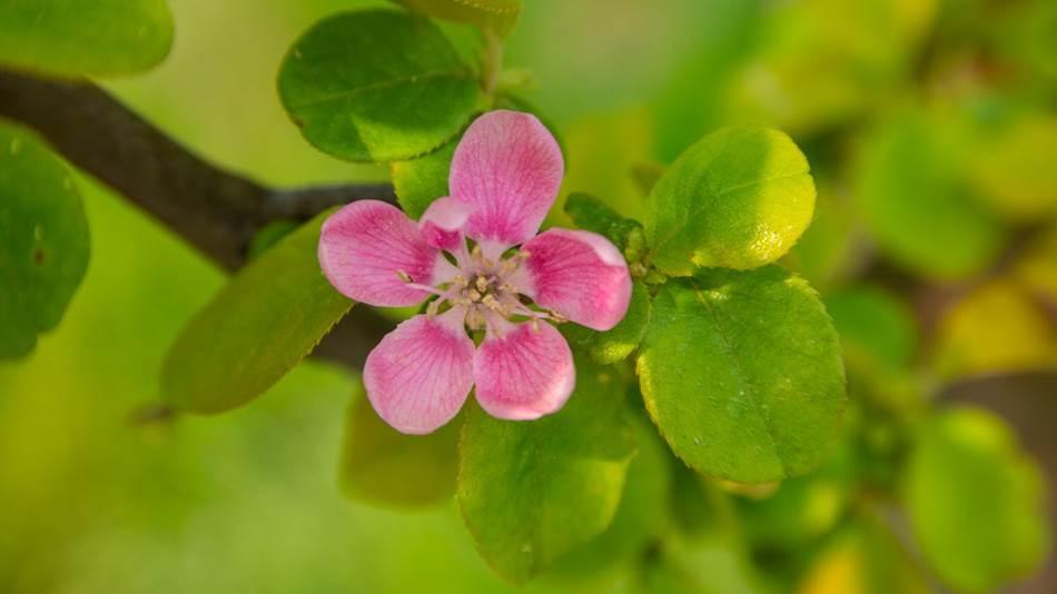 송도센트럴파크에서 담아본 모과꽃2-1561.jpg
