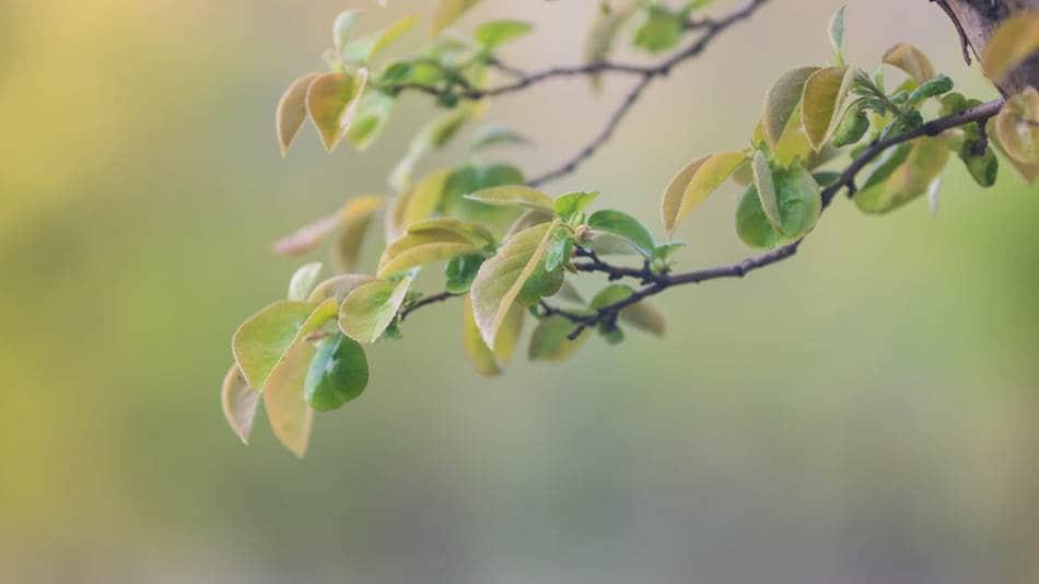 파릇파릇 모과나무 잎 -1274.jpg