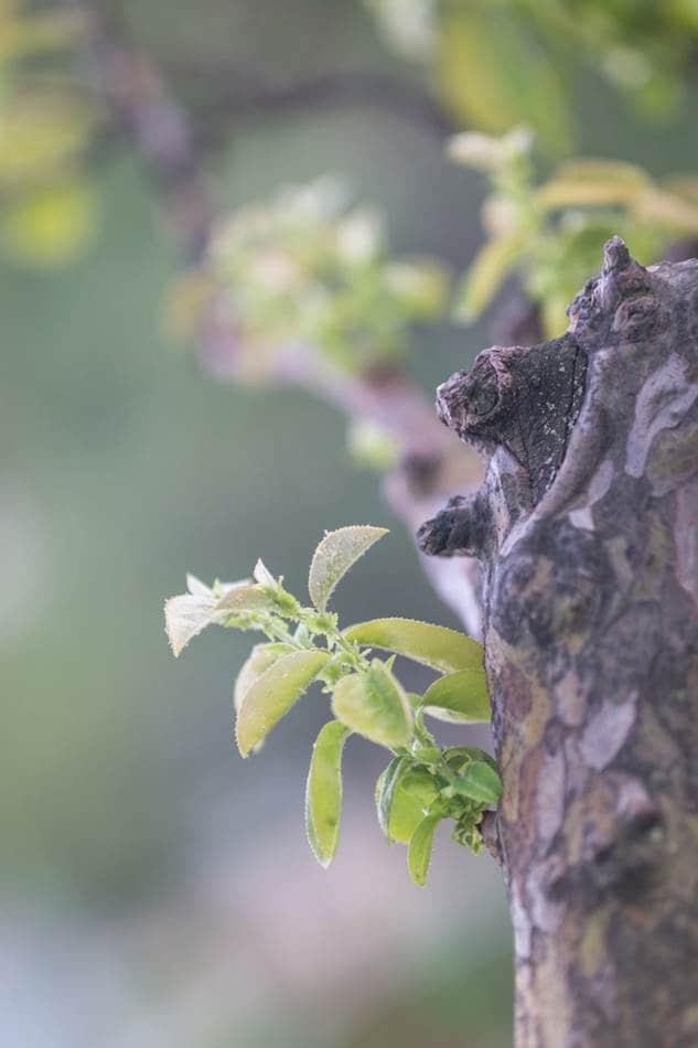 파릇파릇 모과나무 잎 -1279.jpg
