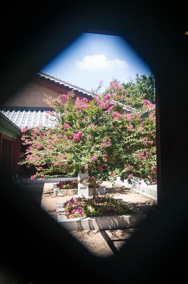 낙원가든 실내에서 창살문으로 바라본 밖 풍경 배롱나무가 보이는 풍경-9906