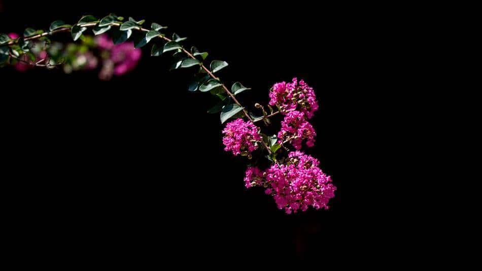 배롱나무 꽃-0008