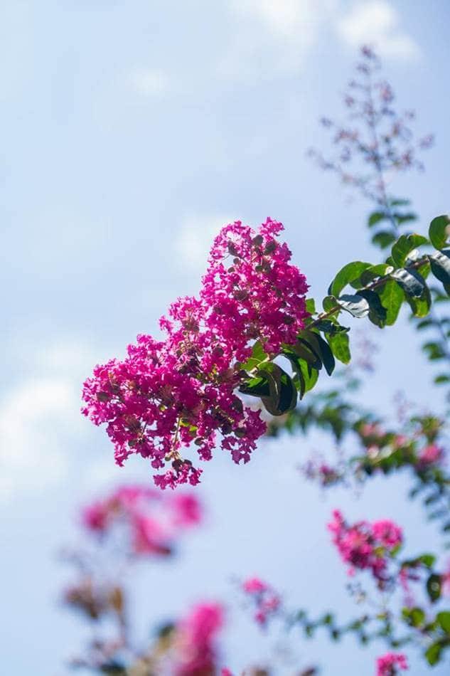 배롱나무 꽃-9949