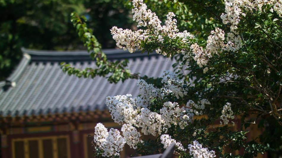 하얀 배롱나무꽃 그리고 고택-0033