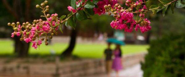벗에 대한 그리움, 탈속 그리고 절개로 선비들이 사랑한 배롱나무 꽃(백일홍) 10