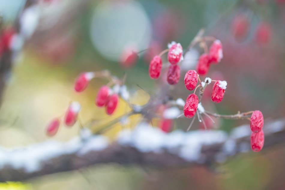 겨울 산수유를 담다 눈에 쌓인 산수유 열매