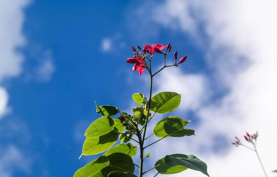 괌의 꽃, 마타피아 또는 야트로파 인테게리마(Jatropha integerrima) 02