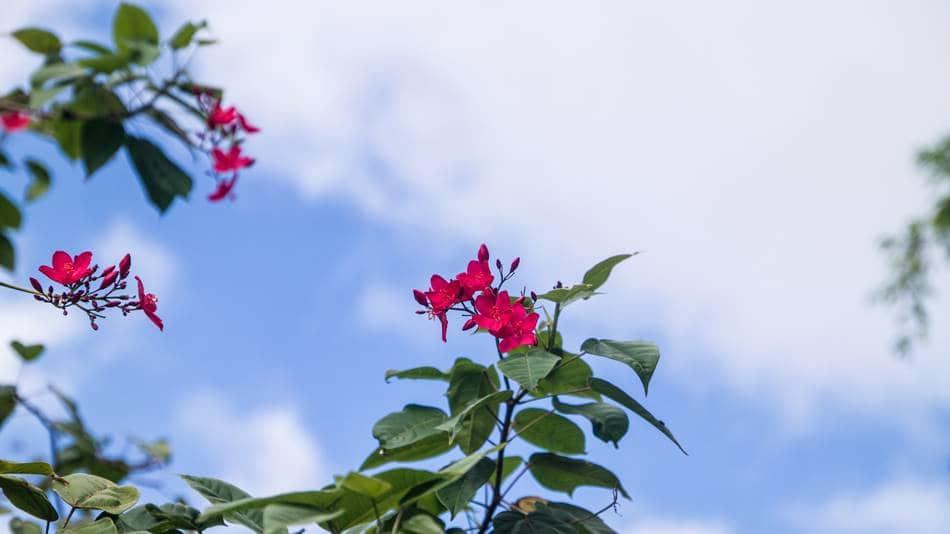 괌의 꽃, 마타피아 또는 야트로파 인테게리마(Jatropha integerrima) 03