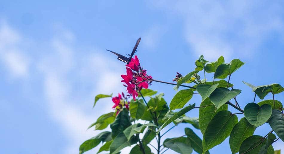 괌의 꽃, 마타피아 또는 야트로파 인테게리마(Jatropha integerrima)