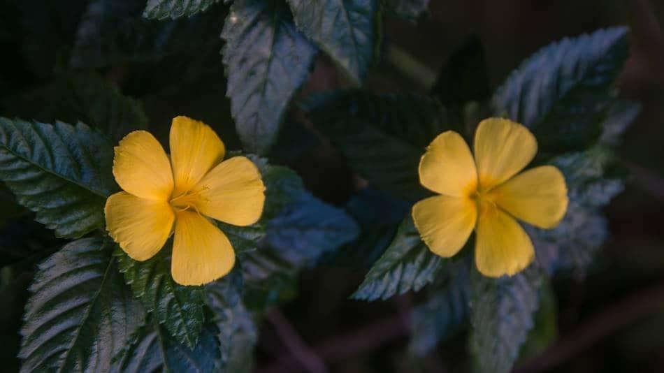괌의 꽃, 터네라 울미폴리아
