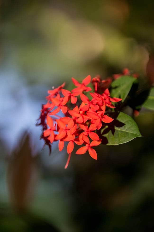 괌의 곷, 인도의 신 이름 익소라(Ixora)