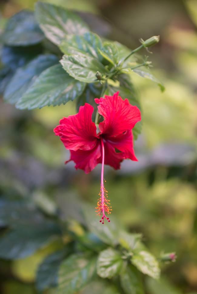 괌의 꽃, 히비스커스(Hibiscus)