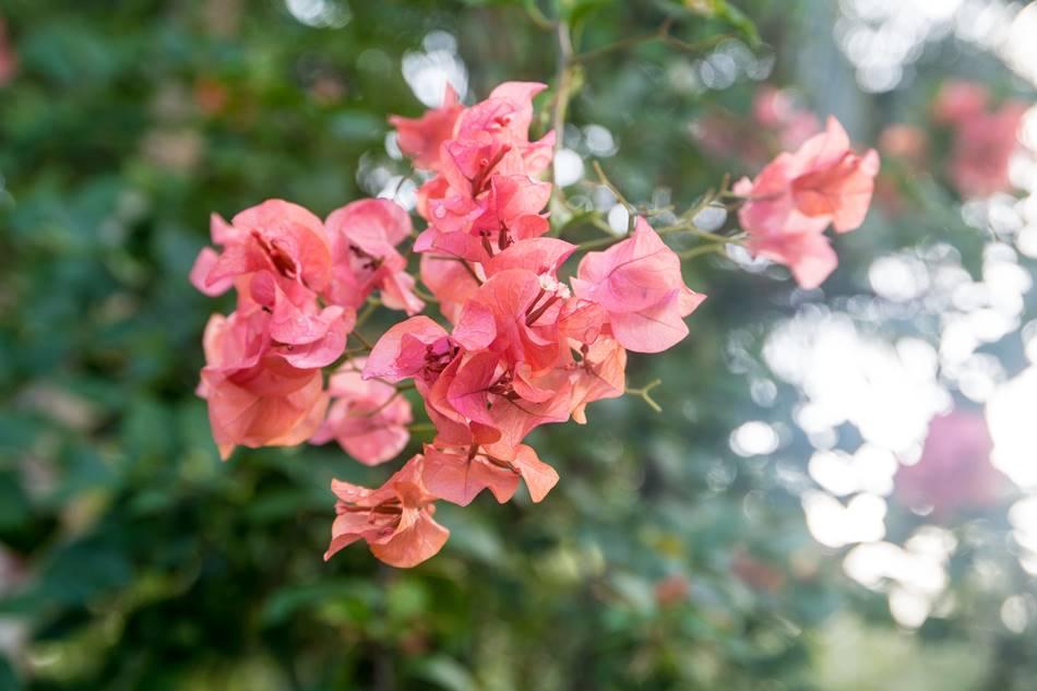 괌의 꽃, 부겐빌레아(Bougainvillea)