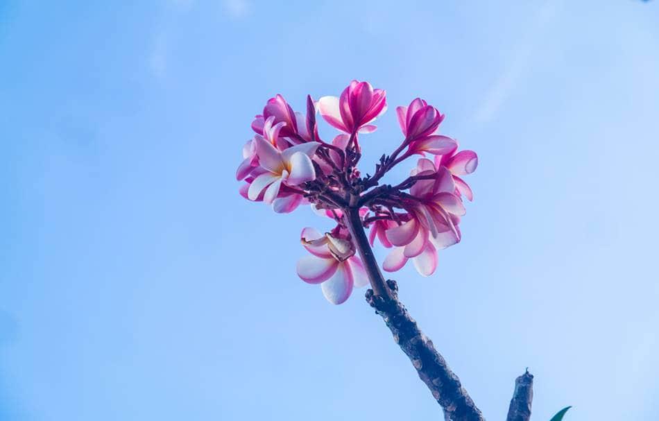 괌에서 담아 온 플루메리아(Plumeria) 꽃