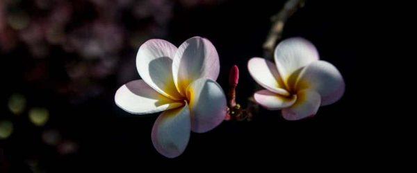 괌의 꽃 이야기 - 괌 차모로족 장식용으로 쓰이는 플루메리아(Plumeria) 3
