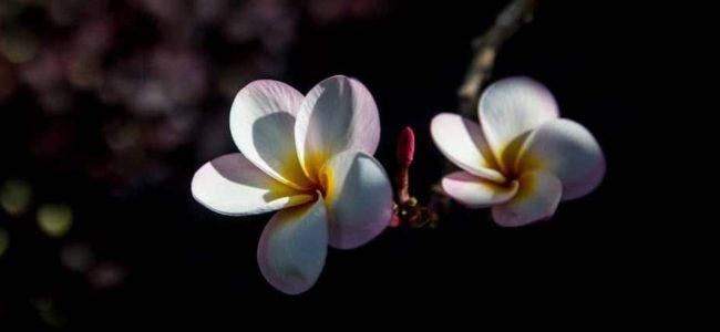 괌의 꽃 이야기 - 괌 차모로족 장식용으로 쓰이는 플루메리아(Plumeria)