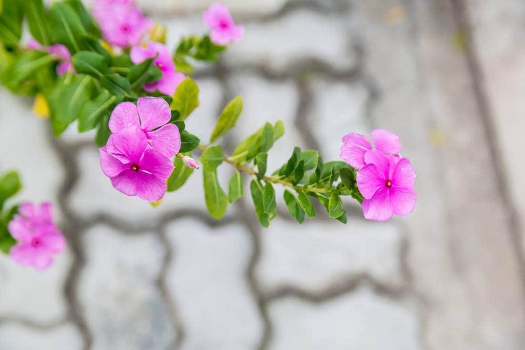 이름 모를 다낭 거리에서 만난 꽃