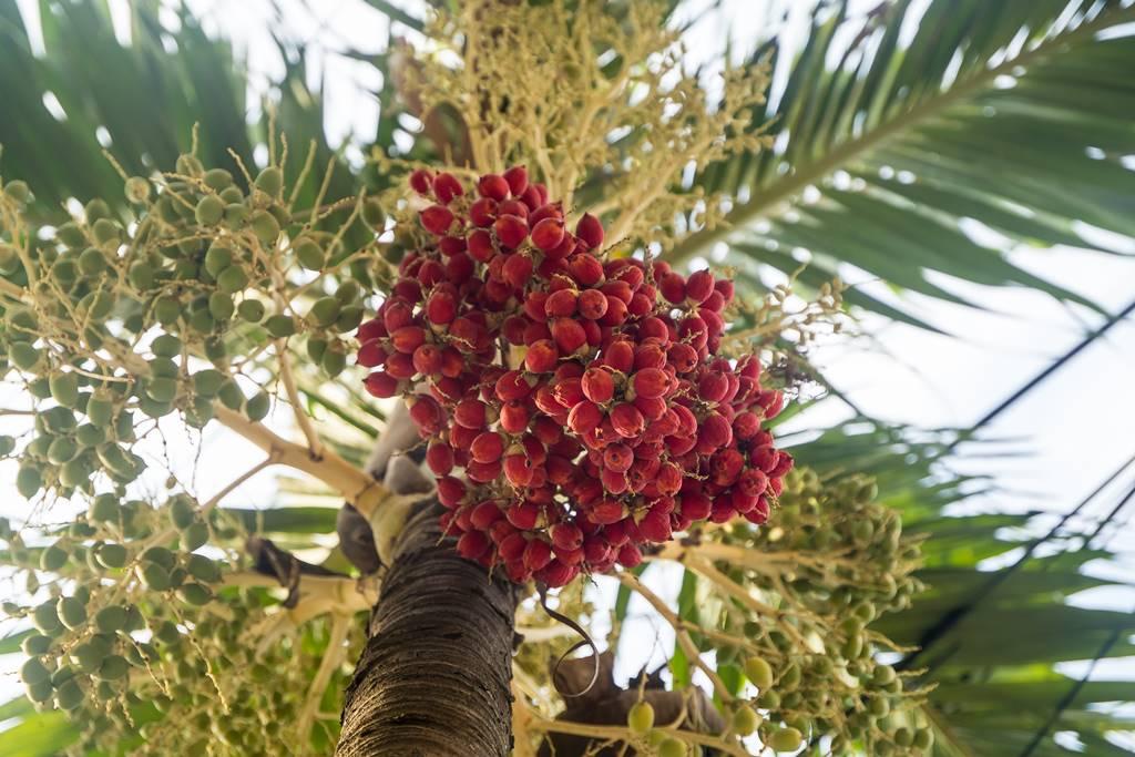 다낭에서 만난 꽃 야자나무-6559