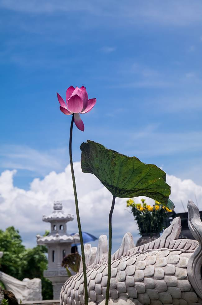 하늘 높이 솟아 꽃을 피운 연꽃