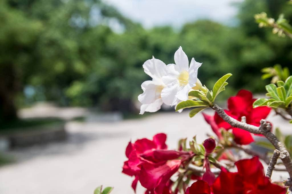 동남아 여행 시 볼 수 있는 꽃중이 하라라는데..협죽도과 상록관목으로 '아데니움 오베숨' 영명은 'Desert Rose(사막의 장미)'