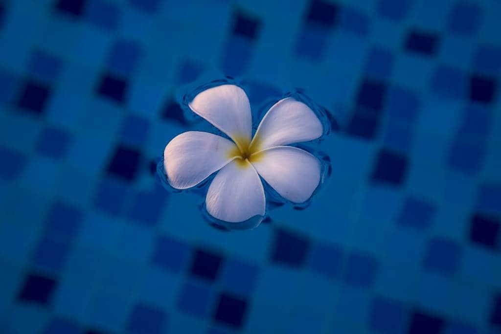 수영장 근처의 플루메리아(러브하와이) 꽃나무