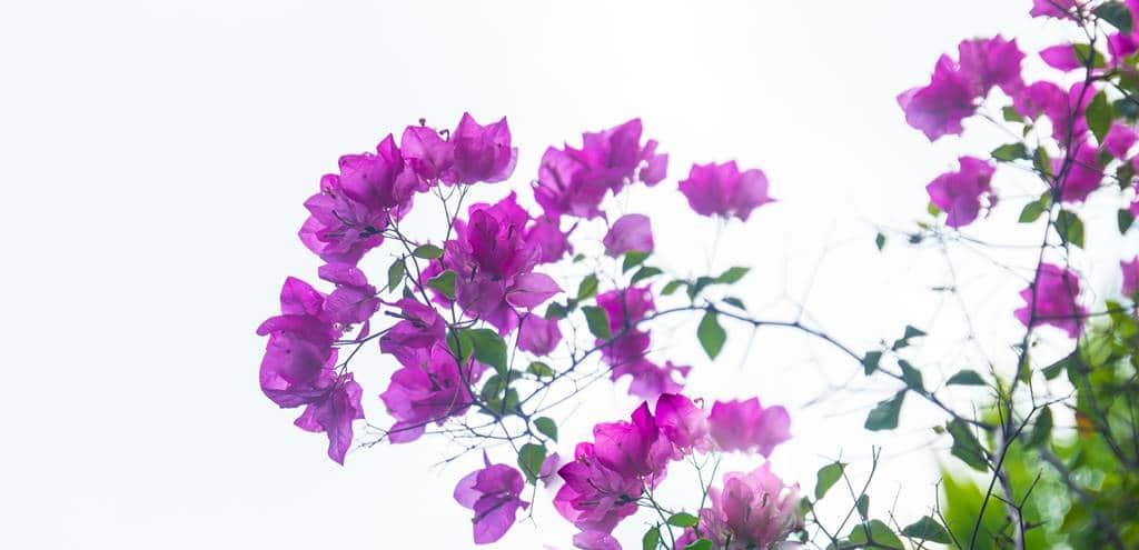 낌봉마을에서 가장 유명한 목공예 장인의 집을 방문 시 상점과 입구사이에 핀 부겐빌레아(Bougainvillea) 꽃