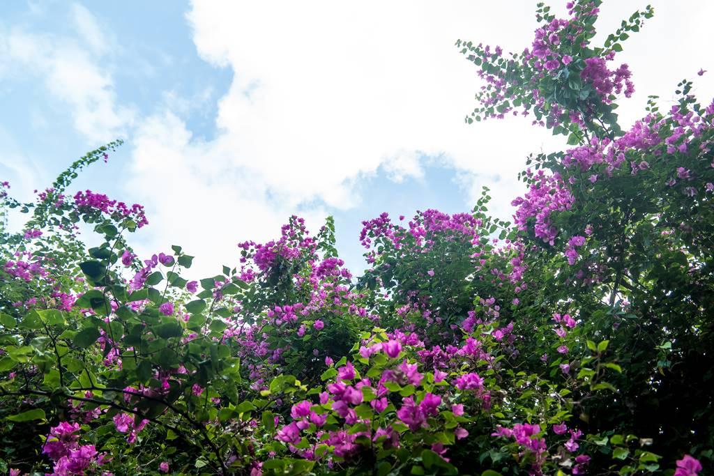 부겐빌레아(Bougainvillea) 꽃의 군락을 담다.