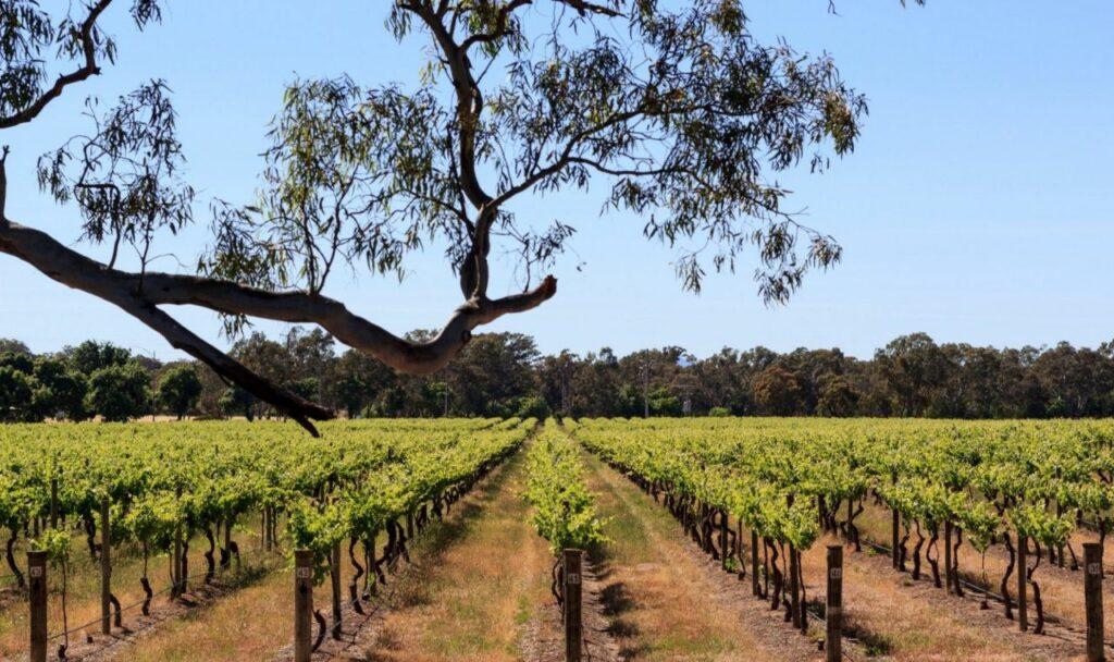 호주 그램피언스(Grampians, Australia) 그램피언스의 완인마을의 포도밭