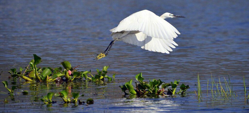 미얀마 인레 호수(Inle Lake)는 세계적으로 멸종 위기에 처한 큰 두루미의 서식지이다, Photo by Richard Mcall