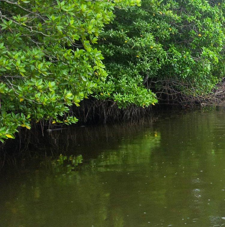 코타키나발루 맹그로브(Mangrove) 투어 중 담아본 맹그로브 나무16