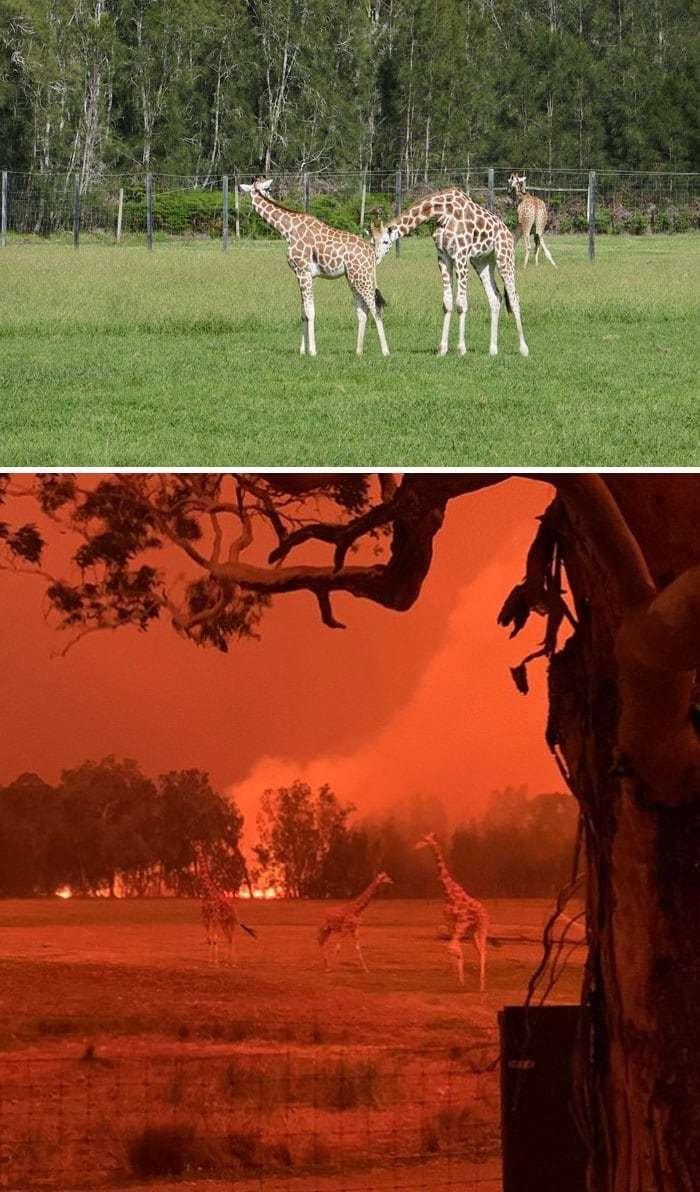 2019~2020 호주 산불 전후 사진, 무산히 구출된 모고 동물원(Mogo Zoo)의 동물, Image from Boredpanda,  Zookeeper Chad